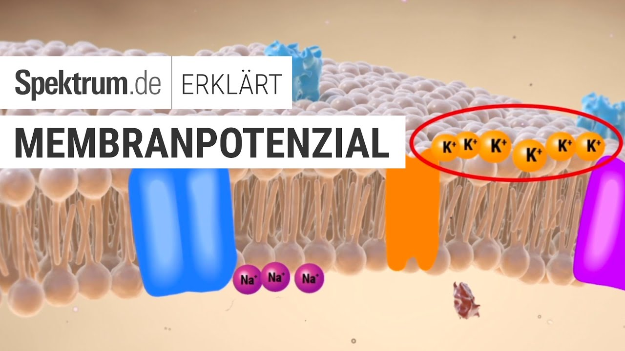 Membranpotenzial: Spektrum erklärt