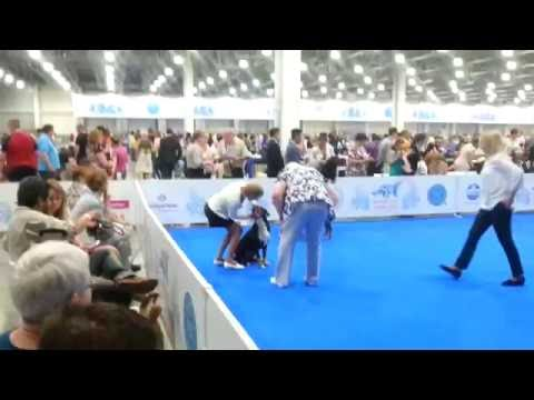 National dog show 2016, Moscow. Males Champion class, Appenzell cattle dog