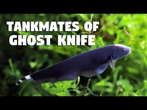 Tankmates Of Ghost Knife Fish