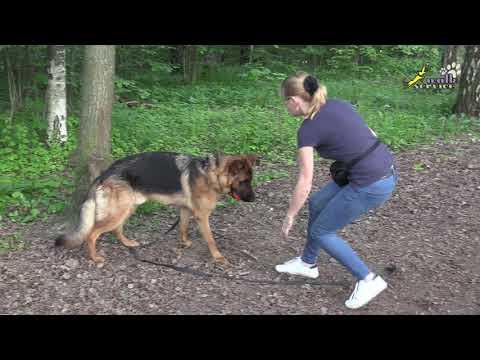 Вопрос: Почему немецкие овчарки часто болеют дисплазией тазобедренных суставов?