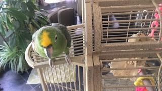 🔴 Гоша.. Смешной говорящий попугай 🔴 у Зули дома 10.04.2017