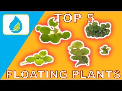 TOP 5 FLOATING AQUARIUM PLANTS
