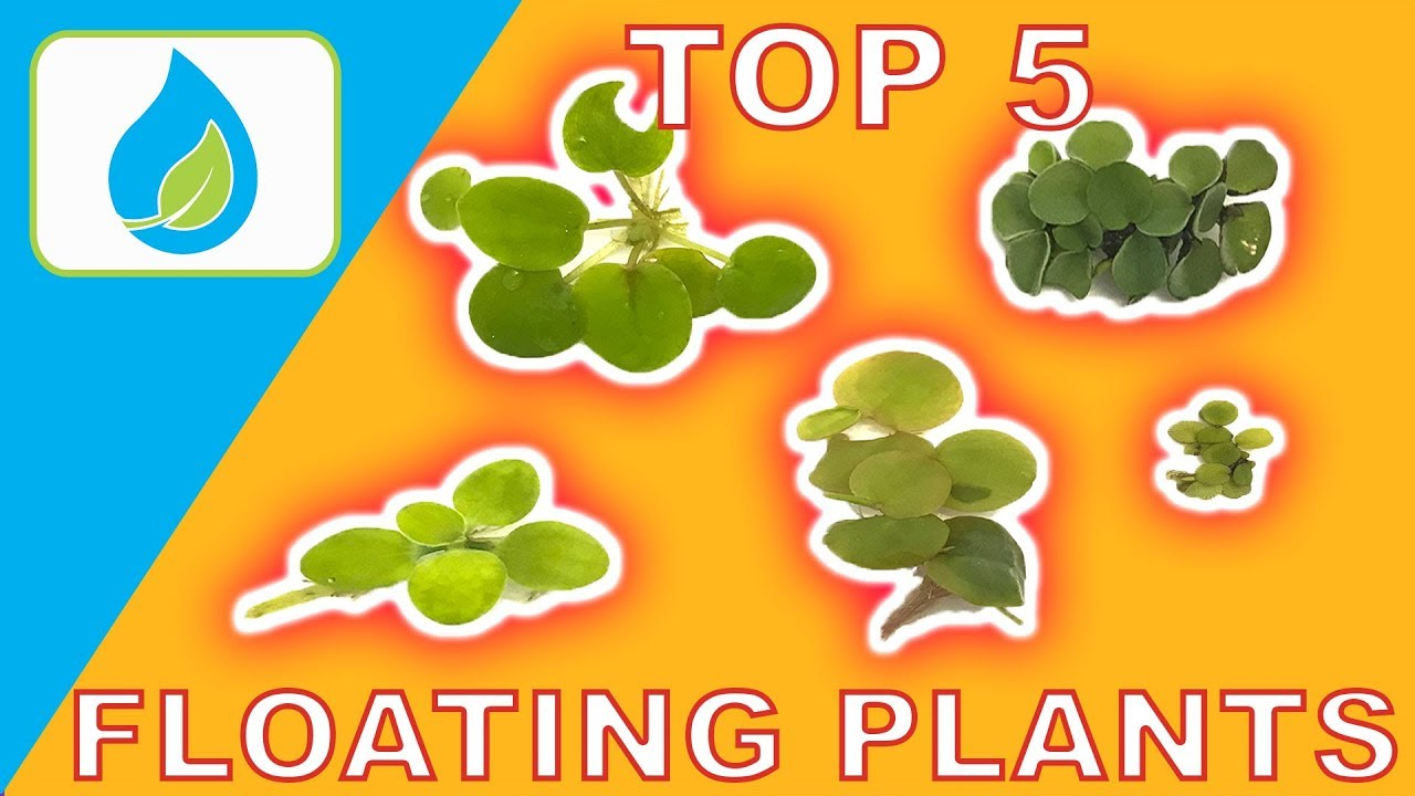 top 5 floating aquarium plants youtube