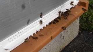 pollen de saule marsault le 7 mars 2014