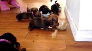 Mini Dachshund Pups Eating @ 1 Month Old