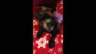 Unusual Small Poodle Behavior.