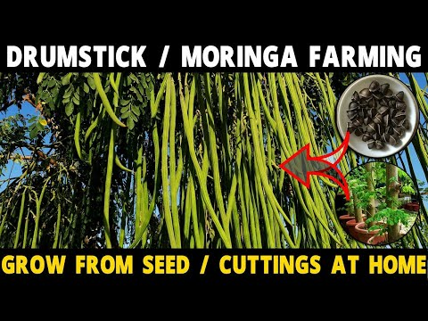 Drumstick Farming | Moringa Cultivation | How to grow Miracle Tree from Seed / Cuttings at Home