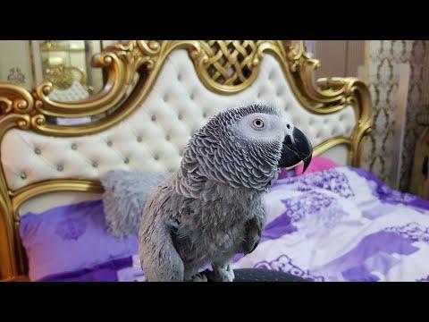 Попугай матершинник с новым годом всех 💋💋💋 попугай говорит с хозяином и ругается
