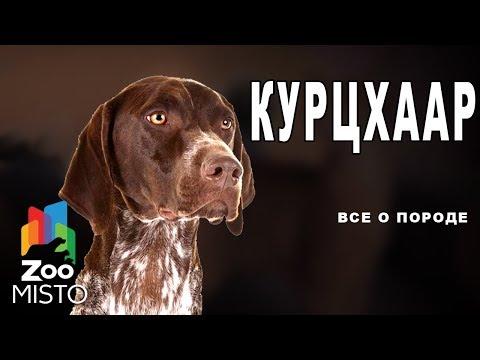 Курцхаар - Все о породе собаки | Собака породы  курцхаар
