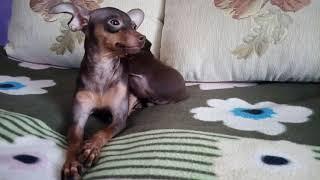 Купить щенка той-терьера. Русский той, мини, РКФ.89055466692