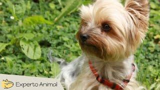 El Perro Yorkshire Terrier