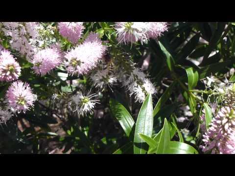 Hebe in flower  - Blómastrandi  Sneplur