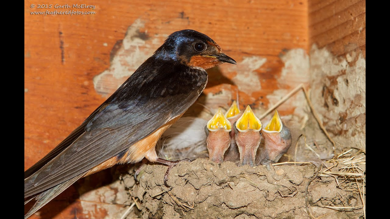 Barn Swallow Chicks - YouTube