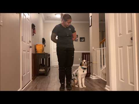 australian-shepherd-obedience-training.-brinlei,-6-months-old,-before-and-after-video