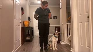 Australian Shepherd Obedience Training. Brinlei, 6 months old, Before and After Video