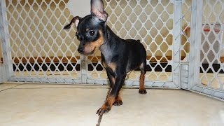 Miniature Pinscher, Puppies, For, Sale, In, Charlotte, North Carolina, Nc, Lexington, Clemmons, Fuqu