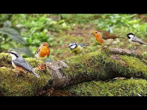 Forest Birds | Ringtones For Android | Animal Ringtones