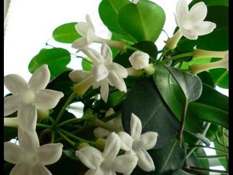 Комнатное растение сциндапсус фото и уход в домашних условиях