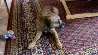 Border Terrier Cecs - Dog Jaro