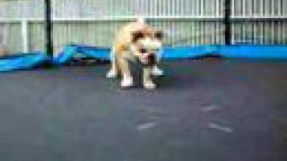 Bulldog On Trampoline 2
