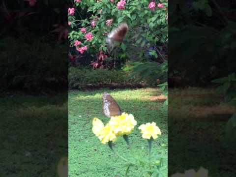Butterflies in garden, Bangalore