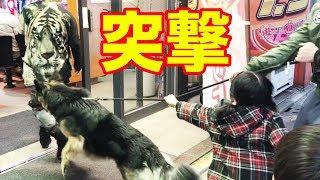 grandchild and #GermanShepherd #シェパード犬#パチンコ屋 ジャーマン...