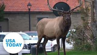 Visiting Yellowstone National Park? Make sure to give the elk their space | USA TODAY