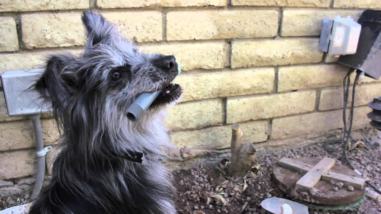 How to Stop a Dog From Chewing Sprinkler Heads : Dog Training Musts ...