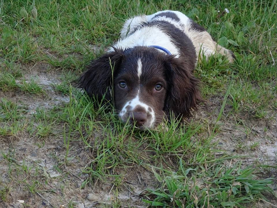 Buster Springer Spaniel Puppy 4