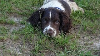 Buster - Springer Spaniel Puppy - 4 Weeks Residential Dog Training