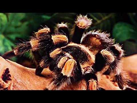Jettie Eff - Tarantula (Ft POLO)