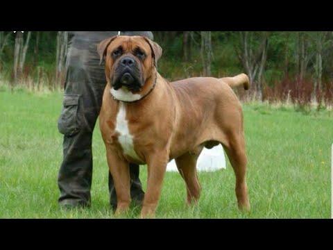 The Power of BOERBOEL dog