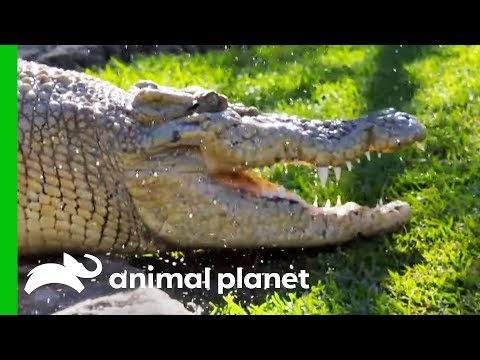 Learn More About The Important Task Of Crocodile Conservation (Compilation)
