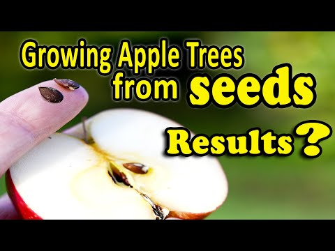 Growing An Apple Tree From Seeds | Fruit Trees From Seeds - Yes, It's Easy, But Should You Do It?