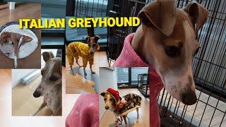 ITALIAN GREYHOUND  DOG BREED         November 21, 2020