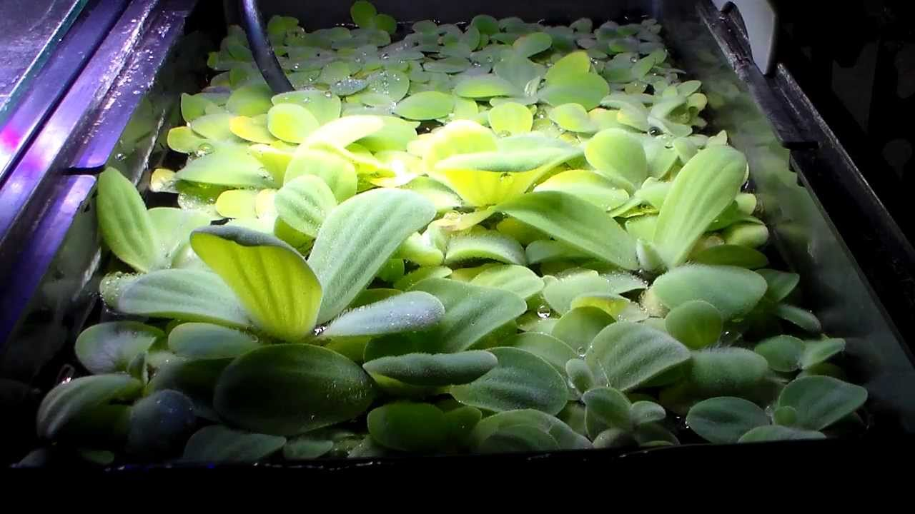 Growing Dwarf Water Lettuce Bigger And Faster Youtube