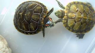 5 month old baby turtle mating dance