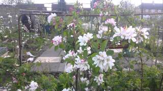 Apple trees: why tip or spur bearing is important?