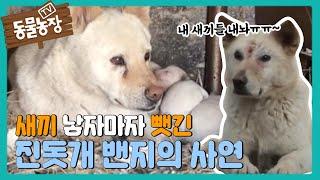 """""""내 새끼 돌리도~"""" 진돗개 새끼 납치극의 비밀! I TV동물농장 (Animal Farm)   SBS Sto…"""