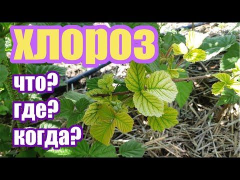 Хлороз на растениях. Чем вызван, когда появляется, как бороться. Часть 1
