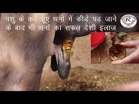पशु के कटे हुए थन का देसी इलाज, The indigenous treatment of cut udder of animals