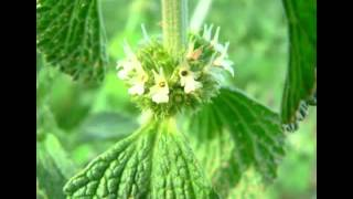 Horehound Herb Health Benefits