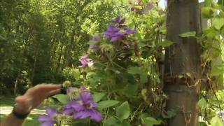Helpful Tips for Success Growing Clematis