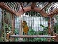 Kenari Betina Gacor Memanggil Kenari Jantan Pancingan Dan Masteran Burung Kenari  Mp3 - Mp4 Download