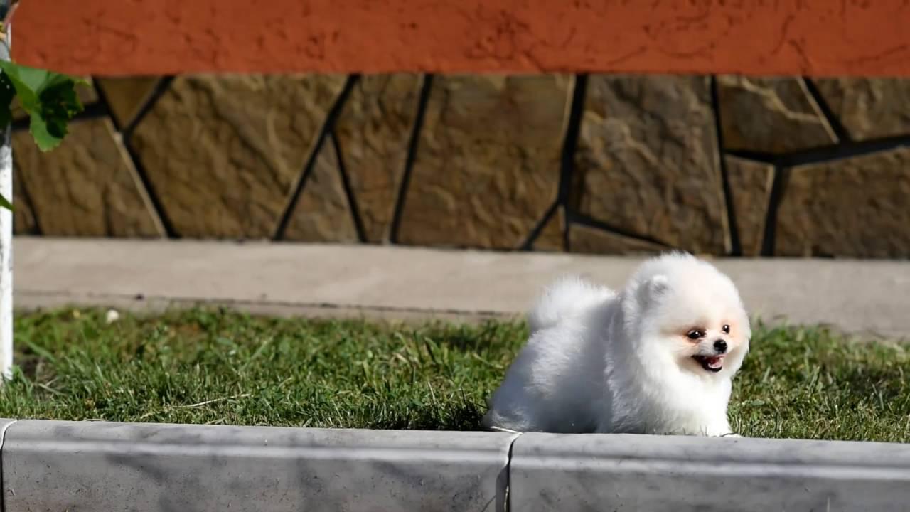 Предлагаем купить миниатюрного щенка померанского шпица. Элитный карликовый померанский шпиц в питомнике imperial family.