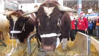 FETARD, 1890 kg le plus lourd taureau du salon de l'agriculture Paris 2015. Race rouge des prés.
