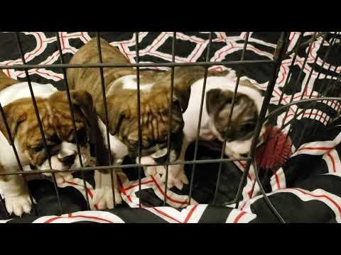 English Bulldog Puppies Turn 6 Weeks Old