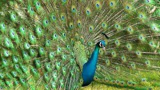 मोर नृत्य Peacock Sound, Peacocks Opening Feathers Dance Display 🔴 NEW الطاووس