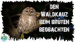 Den Vogel des Jahres beim Brüten beobachten! Die Waldkauz-Webcam vom NABU macht es möglich!