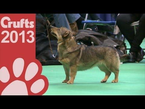 Swedish Vallhund - Best Of Breed - Crufts 2013